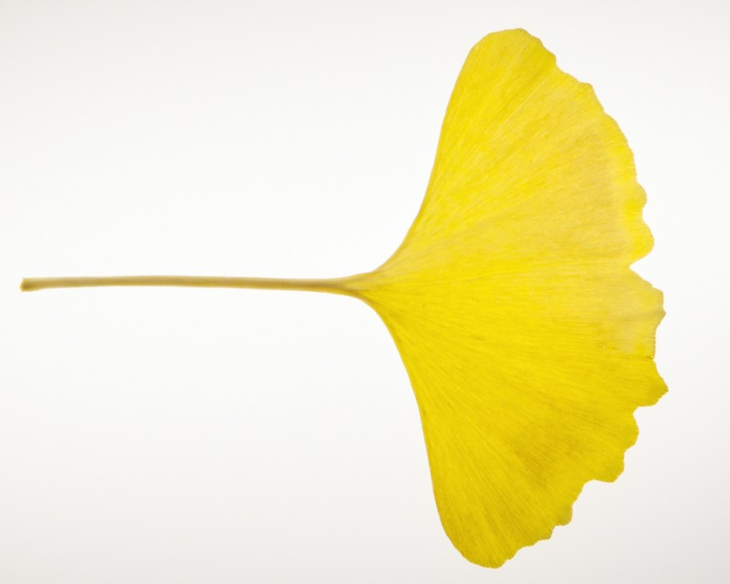 Luminous Gingko Leaf