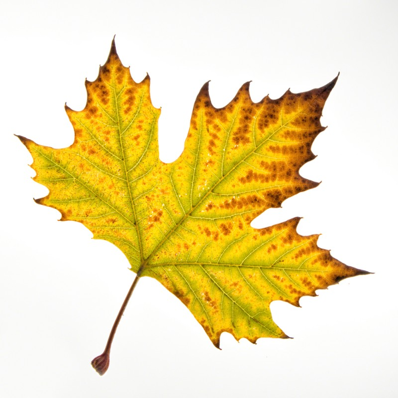 Luminous Sycamore Leaf